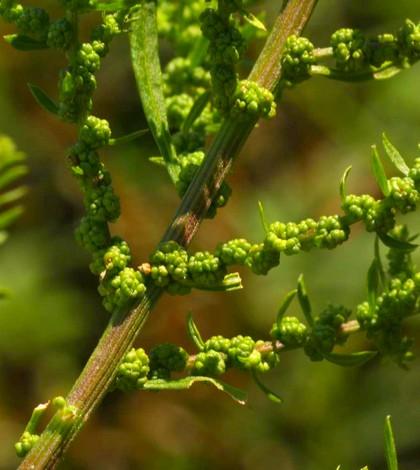 Libatop, Chenopodium ambrosioides L