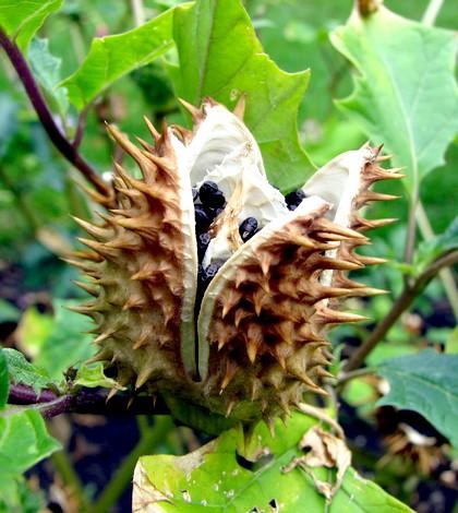 Maszlag Csattanó maszlag, redőszirom, csodafa. Datura stramonium L.