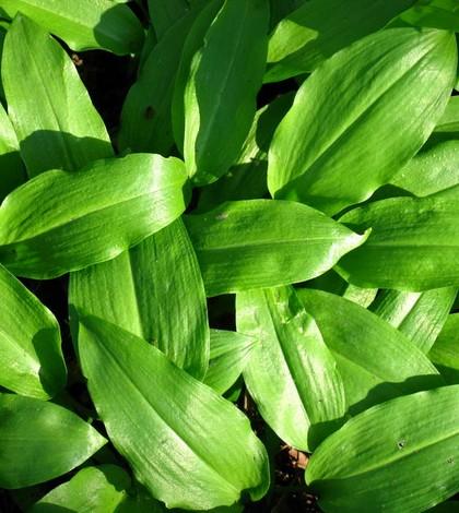 Aliium ursinum L.
