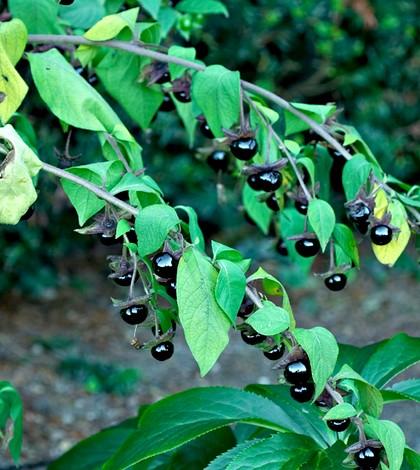 Nadragulya, Atropa belladonna L