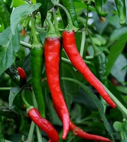 Paprika, Capsicum annuum L