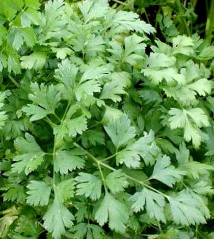 Petrezselyem, Petroselinum crispus Nym