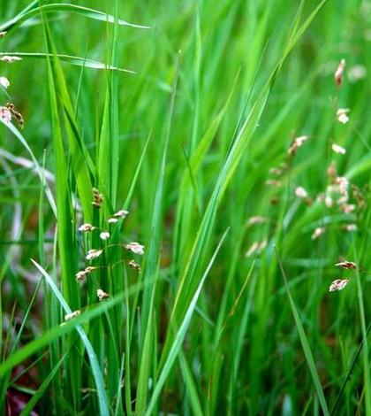 Illatos szentperje. Hierochloe odorata