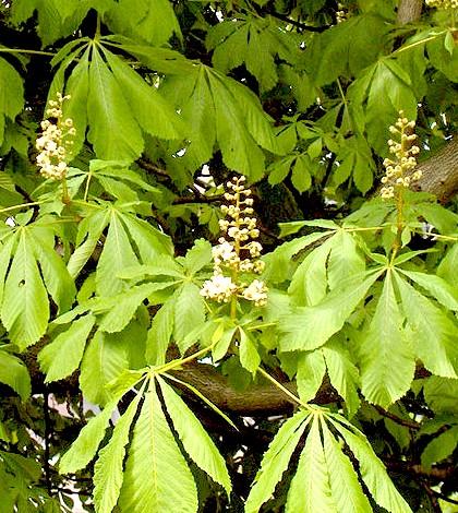 Lógesztenye, bokrétafa. Aesculus hippocastanum L.