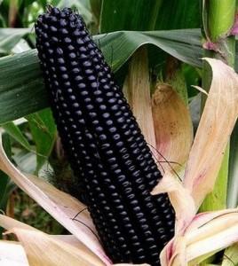 kukorica 4