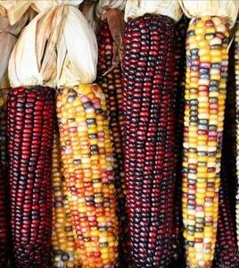 kukorica1